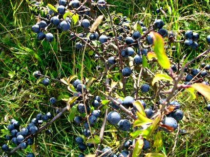 slånbär på finska